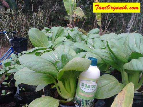 Penampakan tanaman pakcoy yang subur merata.