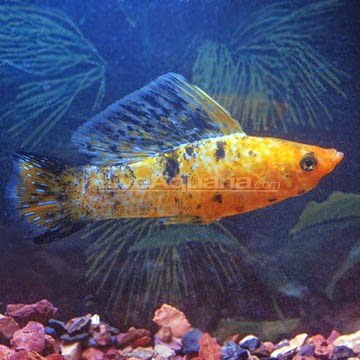Dunia Ikan Hias - Harlequin Sailfin Molly