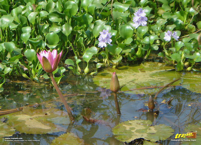 Pink Water Lilies, and behind them, the Water Hyacinths bearing purple flowers