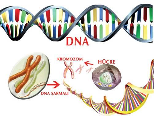 n%25C3%25BCkleotitler-genleri-olu%25C5%259Fturur.jpg