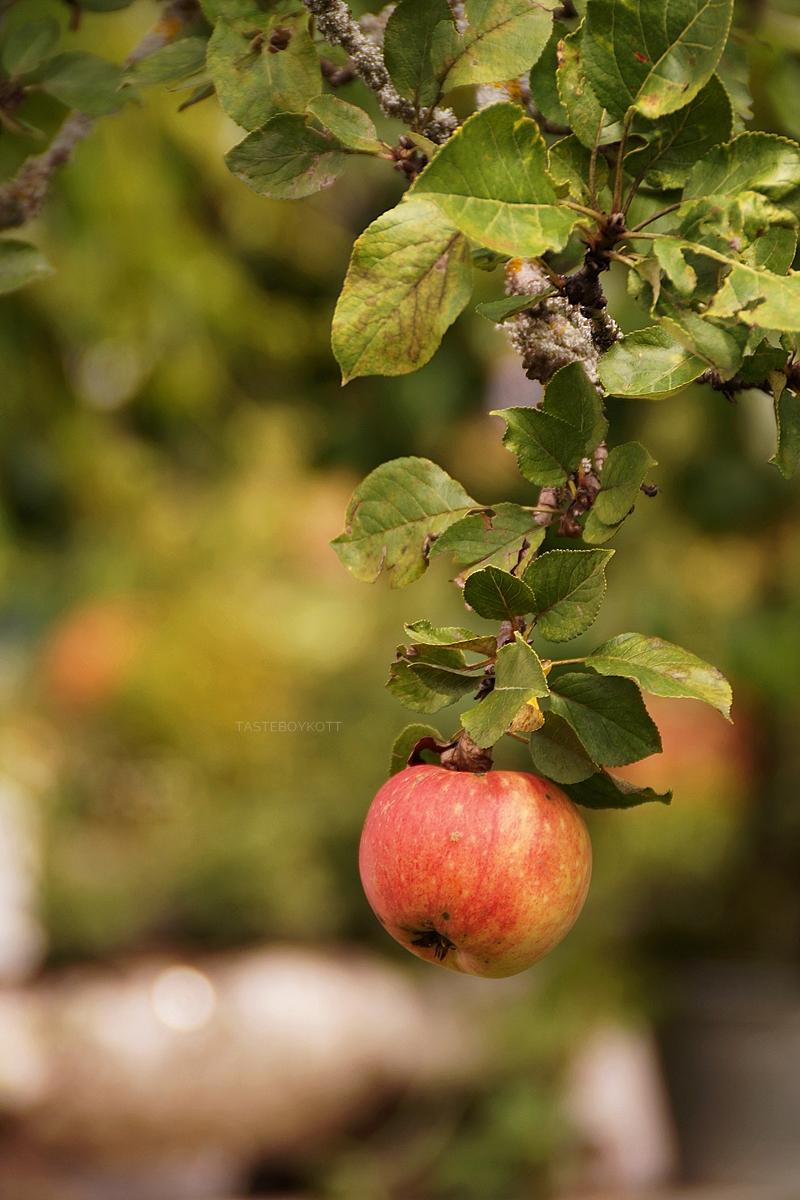 Reife Äpfel im September im Lungau, Österreich // Ripe apples in Lungau, Austria in September