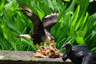 Caracara Vulture Puriscal