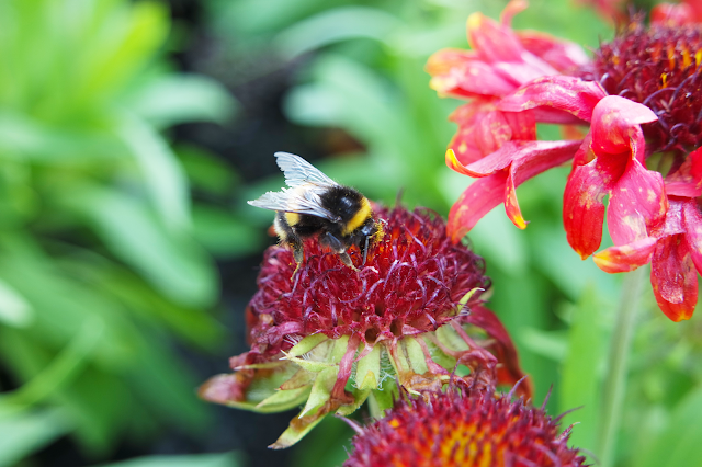 a pollen-covered bee on a deep red flower