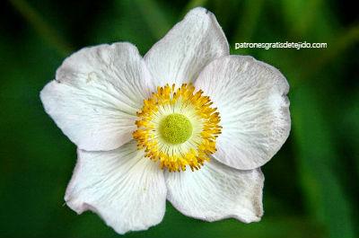 flor-anemona