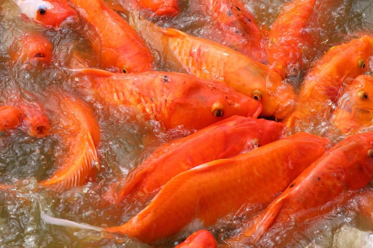 Erek Erek Ikan Mas