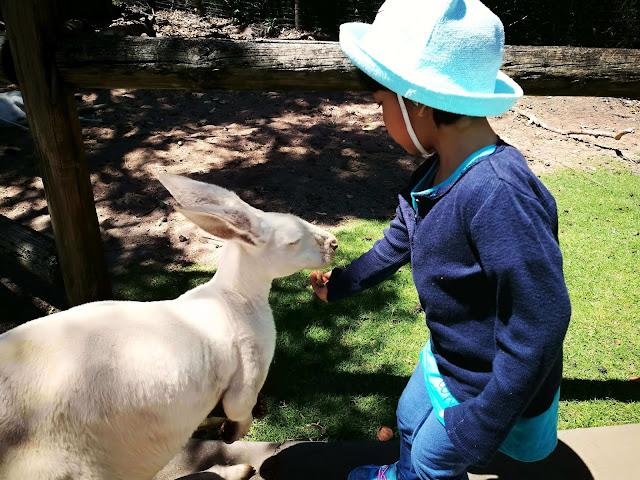 memberi makan kanguru