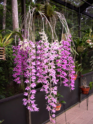 Angraecums Various Orchid Cultures