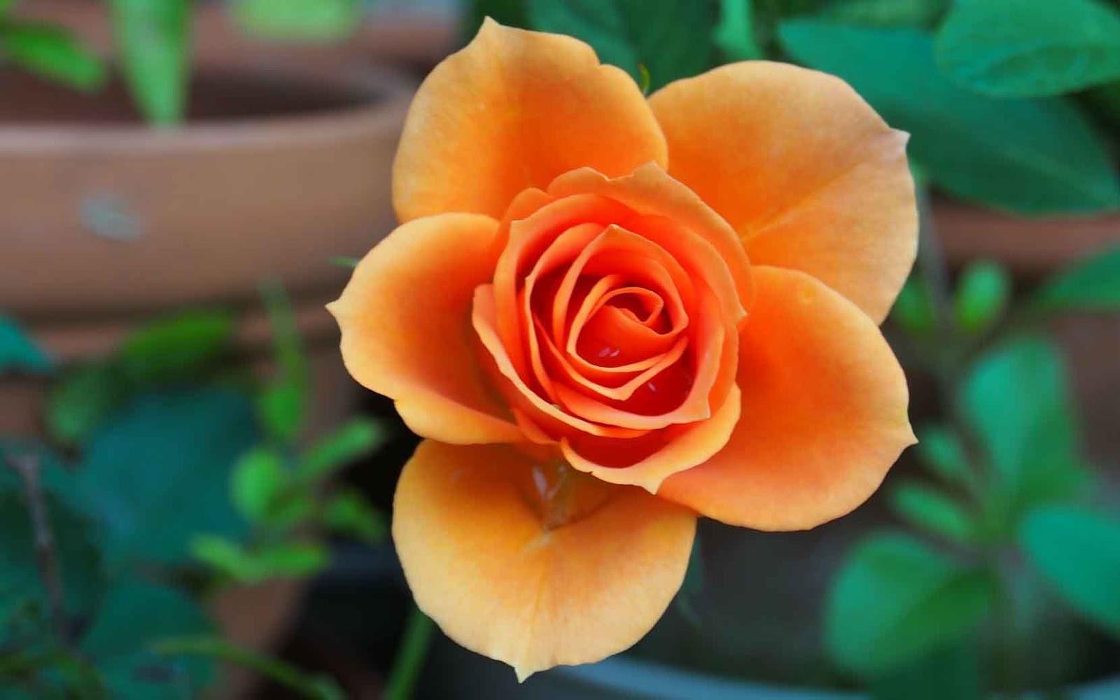yellow rose whatsapp profile pic