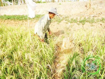 FOTO 7 : Pompanisasi Tanaman Padi TRISAKTI di Lahan Gogorancah