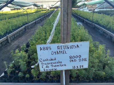 reforestation Mexico State Pro-Bosque ecological restoration trees nursery abies religiosa oyamel fir monarch habitat