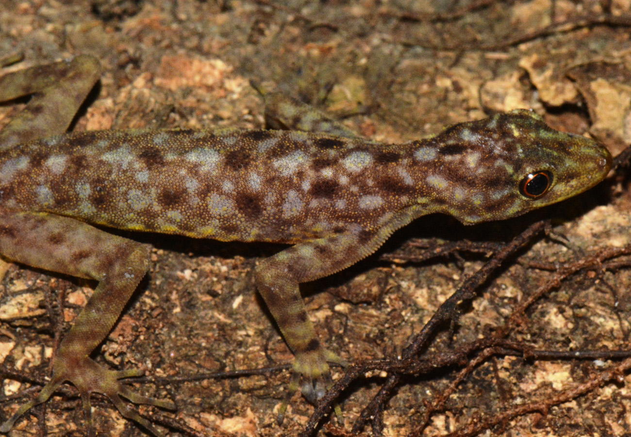 A new species of rock gecko from Belitung Island, Indonesia