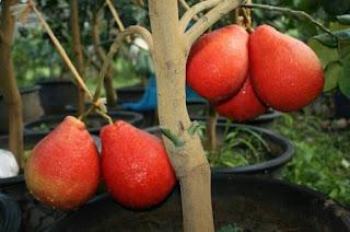jeruk-red-pamelo-thailand.jpg