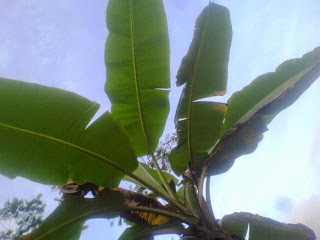 Ciri-Ciri Hama Penyakit Pohon Pisang Dan Cara Pencegahannya