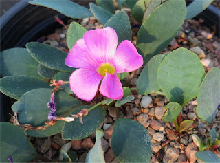 Oxalis nortieri flowering Dysselsdorp