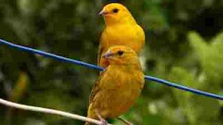 Cara mudah mengawinkan burung kenari bagi pemula