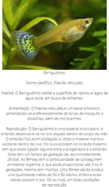 Peixe-Barrigudinho