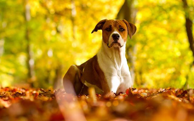 Hond tussen de herfstbladeren