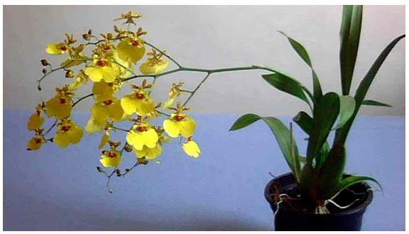 Como Cuidar De Orquídeas – Aprenda Técnicas de cuidar de orquídeas