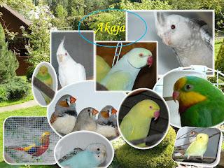 Hobbystyczna hodowla ptaków egzotycznych Akaja