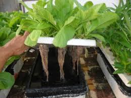 hướng dẫn tự trồng rau thủy canh tại nhà
