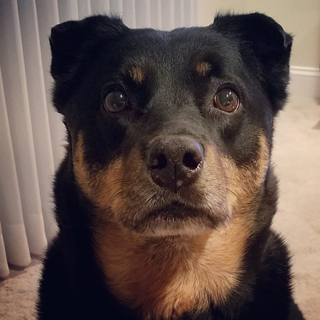 image of Zelda the Black and Tan Mutt sitting in front of me and looking at me with big, plaintive eyes