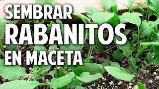 Como sembrar rabanitos y no morir en el intento - 1