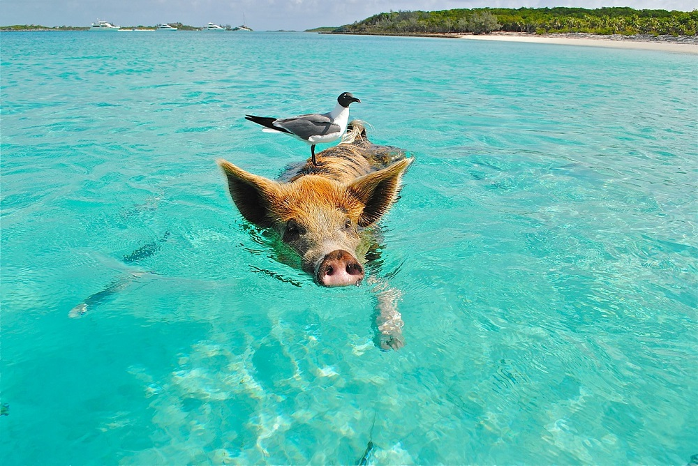Swimming Pig in Bahamas