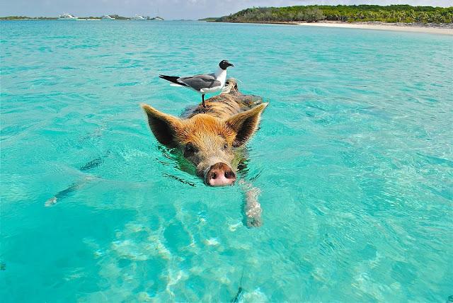 Swimming Pig in Bahamas