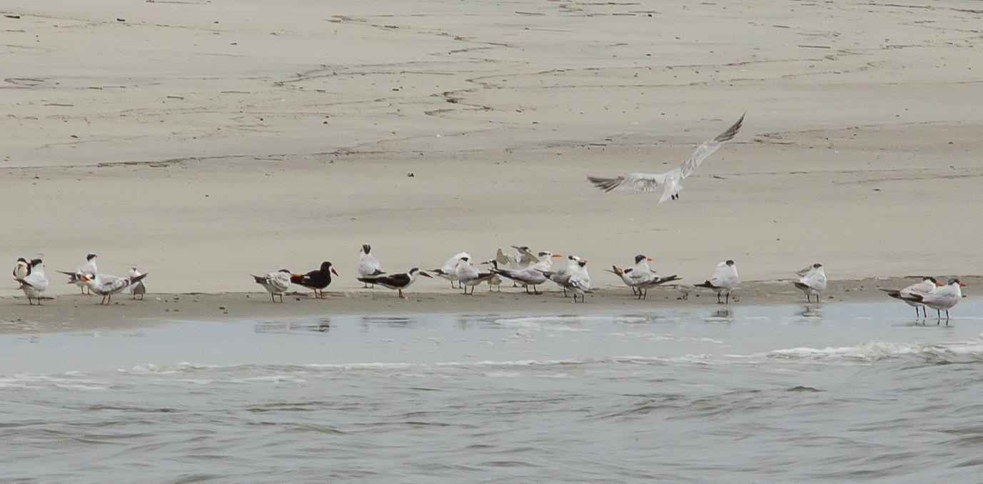 Black Skimmers in South Carolina