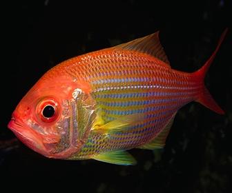 Ikan Kakap Merah, Berkurang dilautan Indonesia