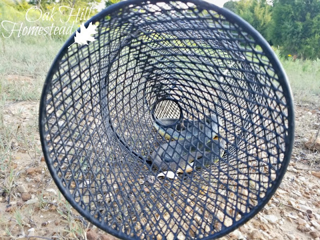My simple $10 snake trap: a minnow or crawfish trap to catch snakes in the chicken coop.