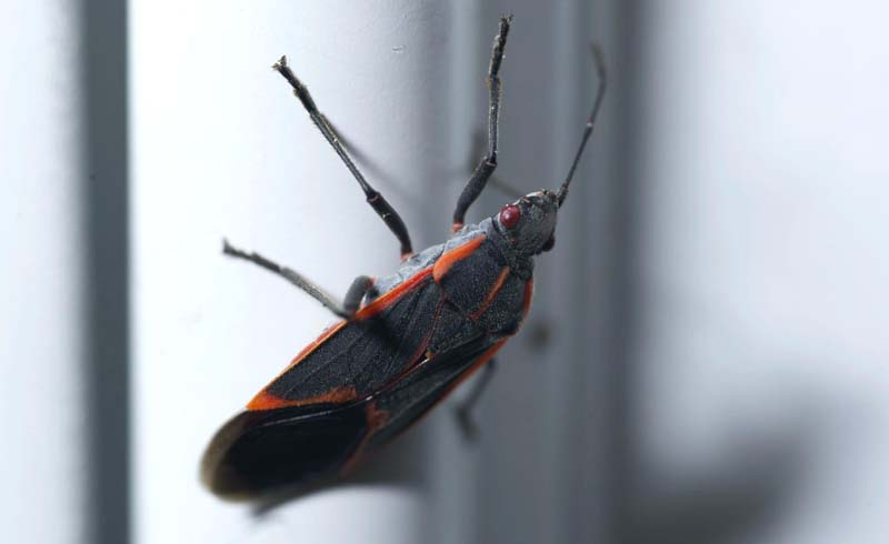 box elder bug, pest control