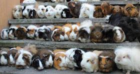 Guinea Pig class photo