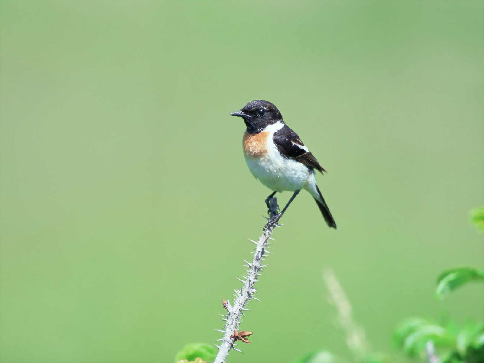African Pied Wagtail HD Wallpapers