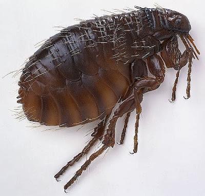 imagenes de pulgas