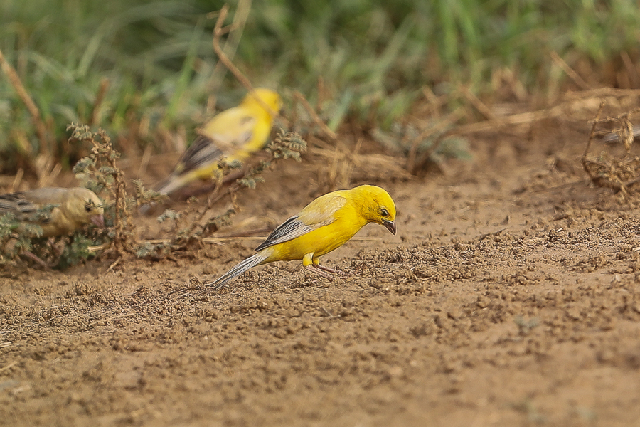 Arabian Golden Sparrow