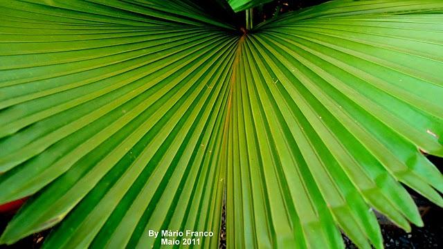 licuala, palmeira-leque, licuala-grande, palmeira-licuala.