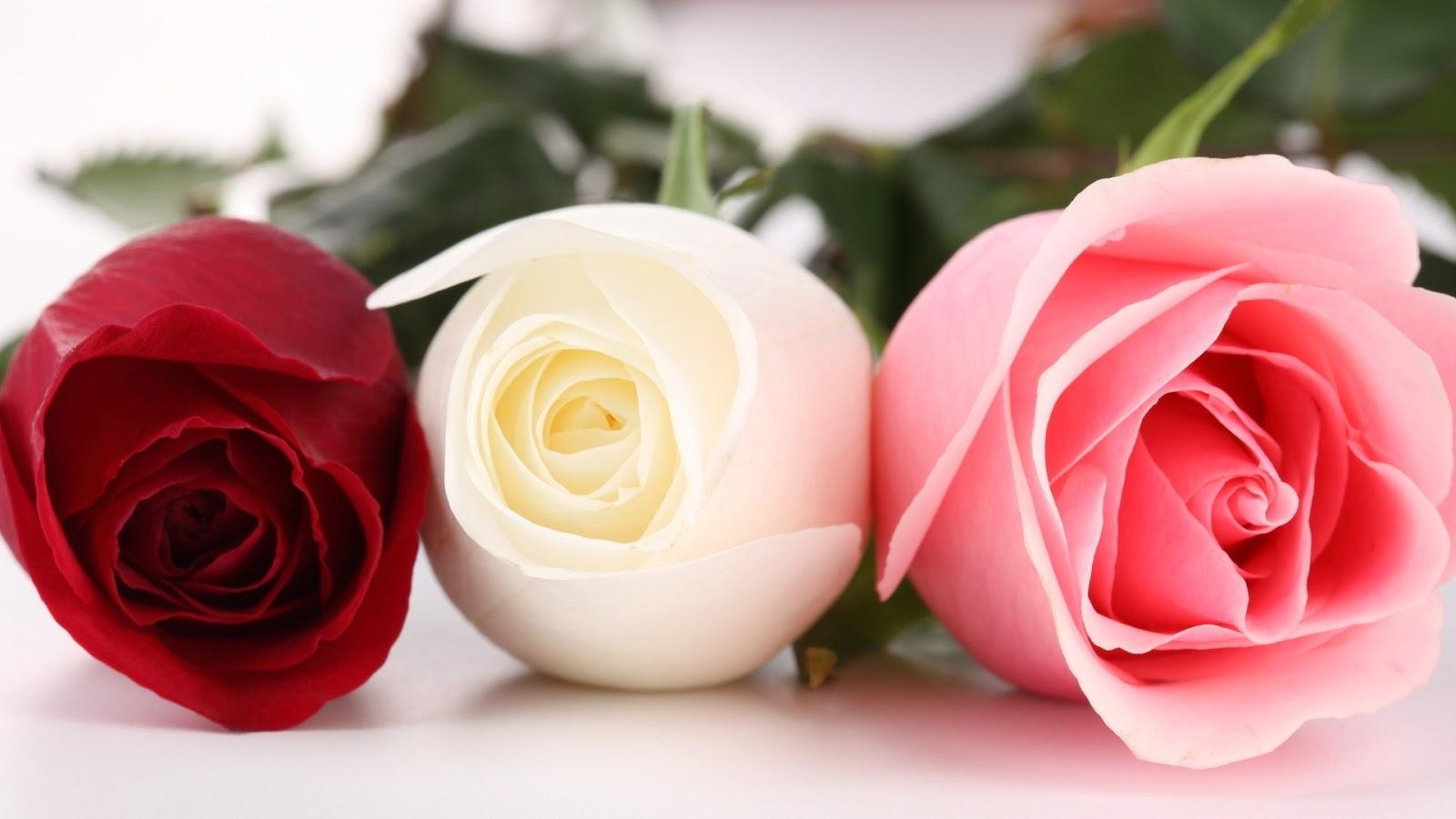 Ravishment: Beautiful Roses HD Desktop Wallpapers in 1080p