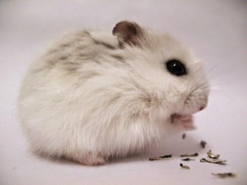 Hamster winter white