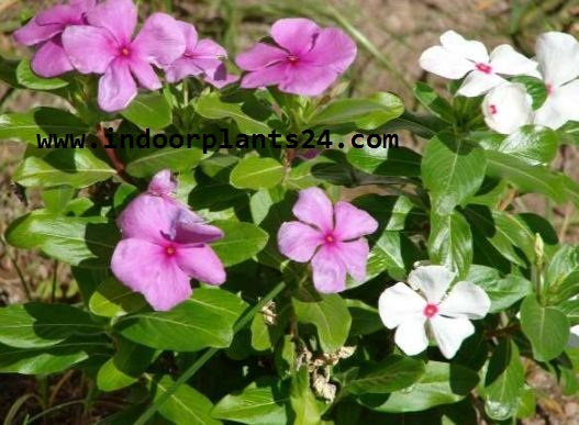 MADAGASCAR PERIWINKLE indoor house plant picture