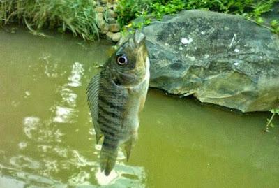 Jenis Umpan Mancing Ikan Mujaer Yang Ampuh Dan Jitu