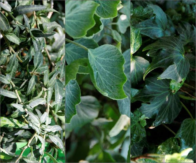 bluszcz liście