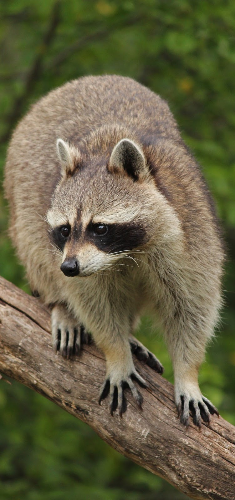 Raccoon on tree branch.