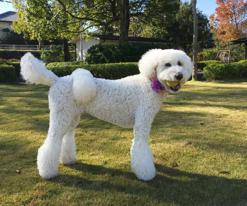 Caniche standard - Standard Poodle