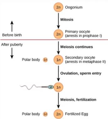 Proses Pembentukan Ovum