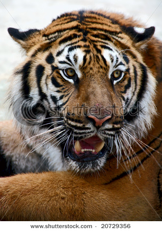 Cute Angry Birds Wallpapers Image Gallary 1 Angry Tiger Face Pictures Tiger Wallpapers