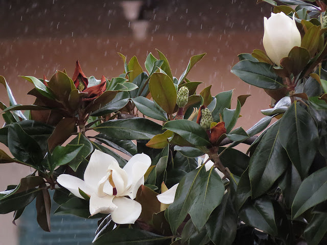 Magnolia flowers under the rain, Livorno