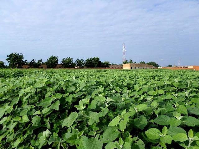 احدي المزارع في الريف السوداني