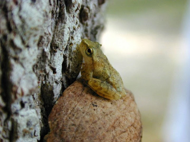 Spring Peeper facts and information 7