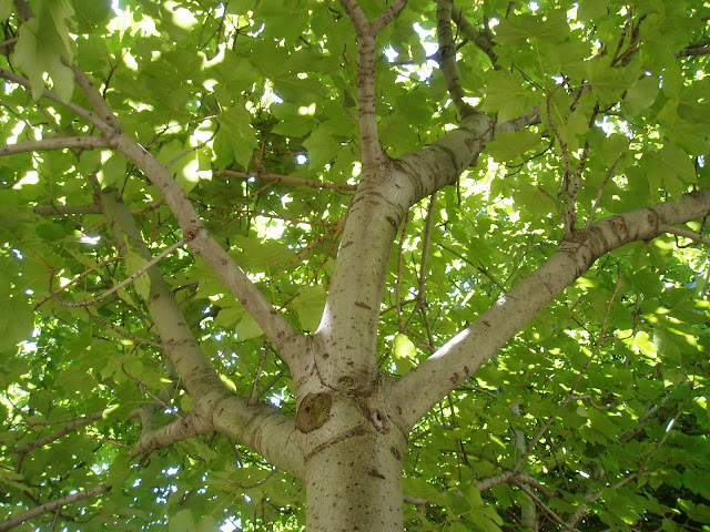 SICOMORO: Acer pseudoplatanus
